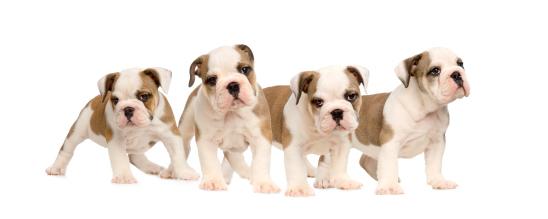 Puppies on parade