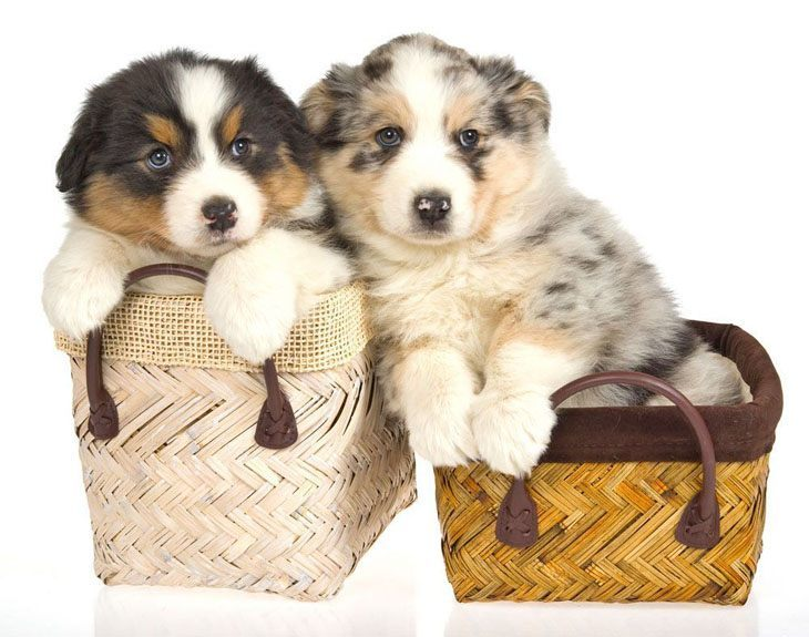 Australian Shepherd puppies ready to play