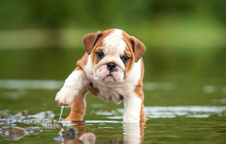 Bulldog puppy getting wet