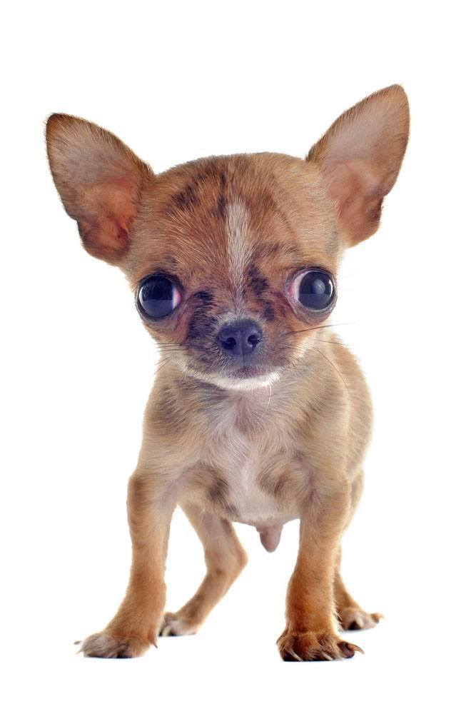 Chihuahua watching you watching him