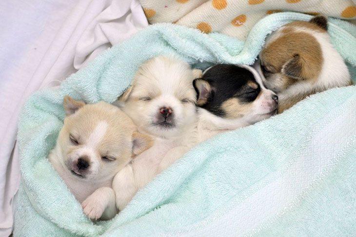 Sleeping Chihuahua cuties
