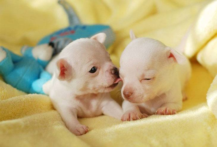 Chihuahua puppies looking for cute dog names