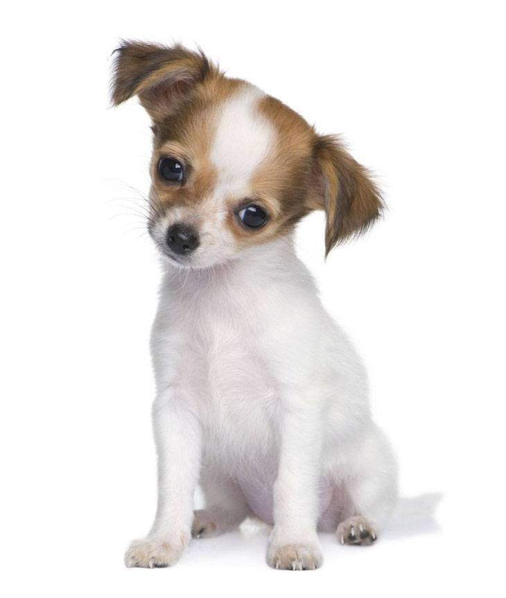 Chihuahua puppy is watching you watching him
