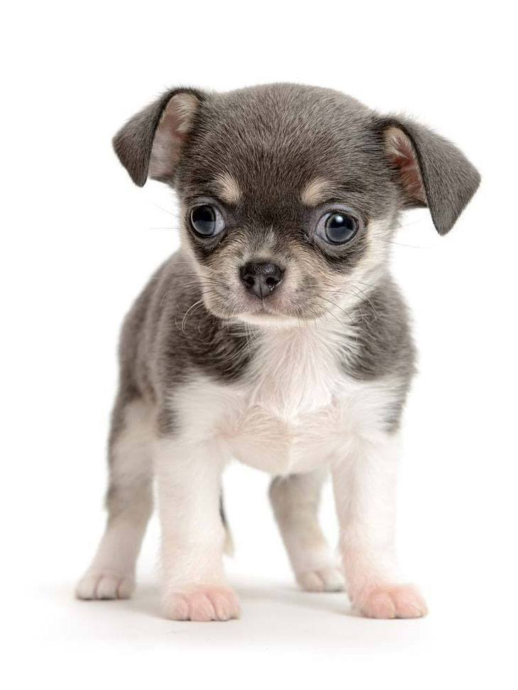 Big eyed Chihuahua puppy