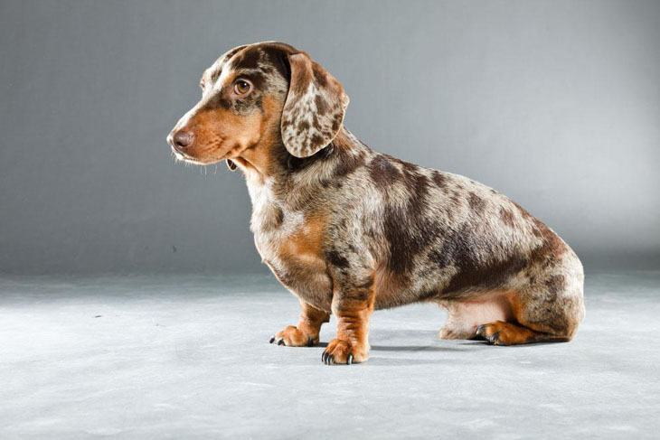 Colorful dappled Dachshund