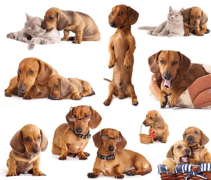 Dachshund puppy montage
