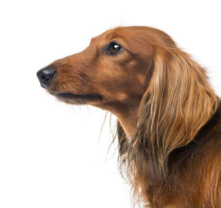 Profile of a beautiful Dachshund