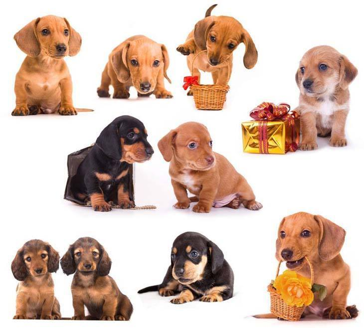 Montage of cute Dachshunds