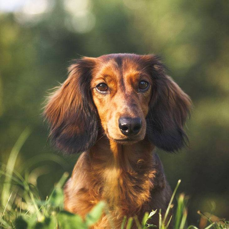 Dachshund looking for Honey Badgers