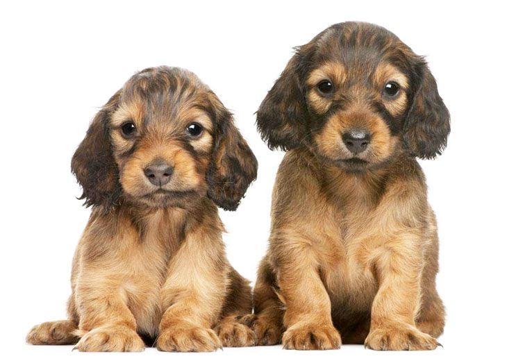 Dachshund puppies just being cute