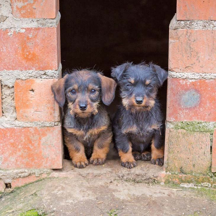 Dachshund puppies in doorway
