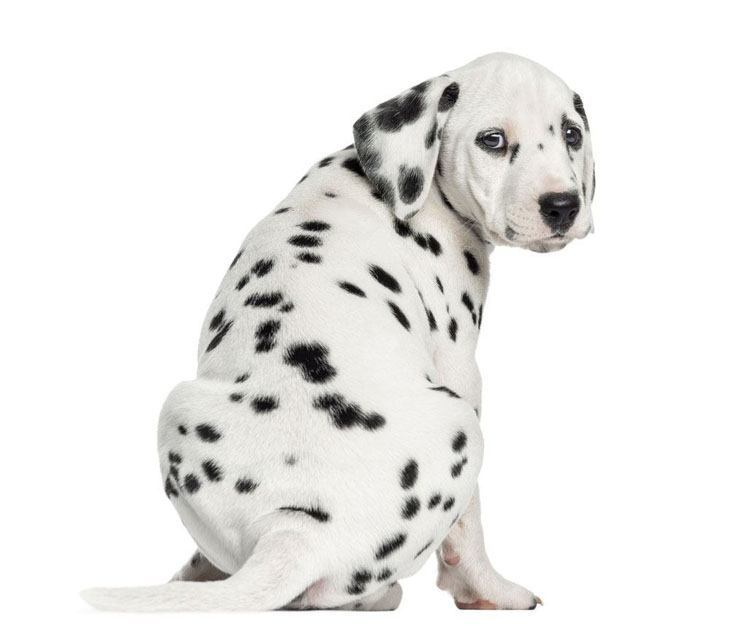 Dalmation puppy showing off it's spots