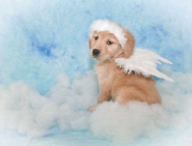 Heavenly cute Golden Retriever puppy