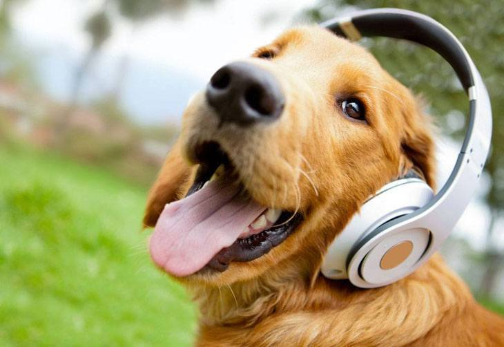 Golden Retriever enjoying music