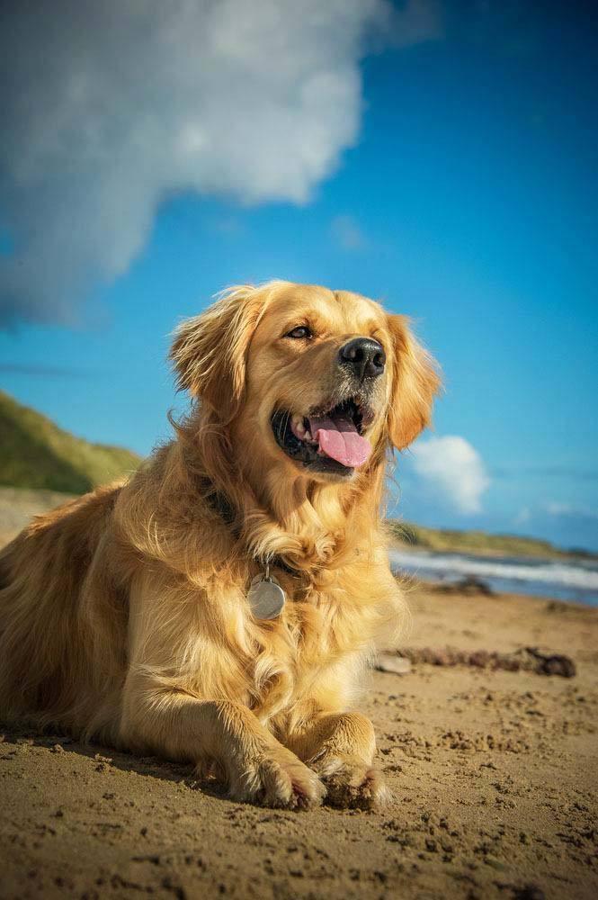 Golden Retriever loving the beach