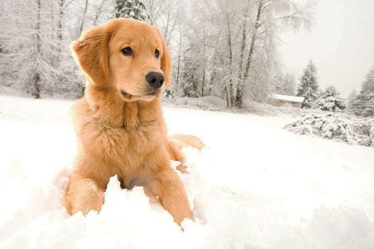 Golden Retriever loving the snow
