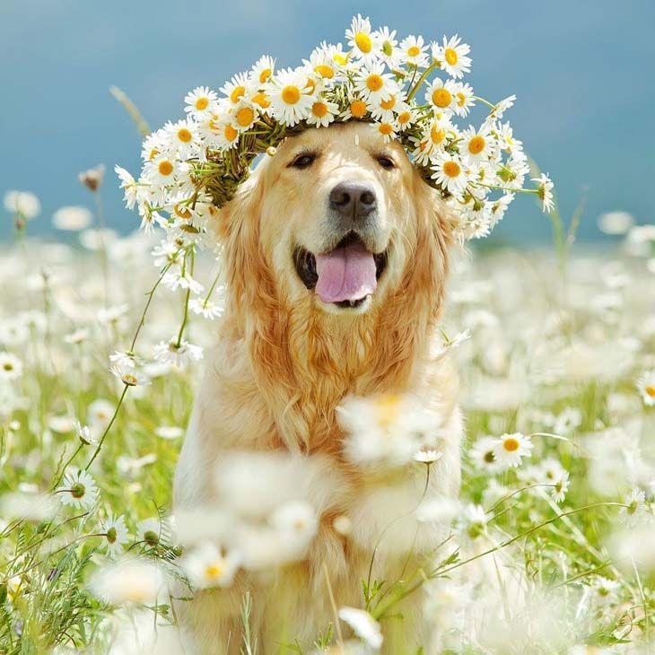 Golden Retriever flower child