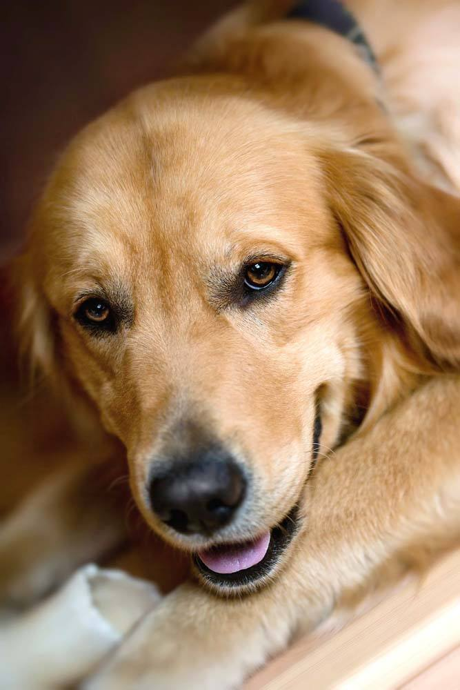 Golden Retriever hoping to get outside soon