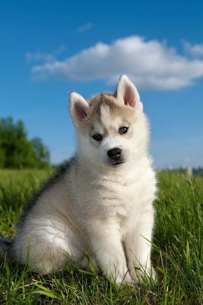 Husky puppy enjoying springtime