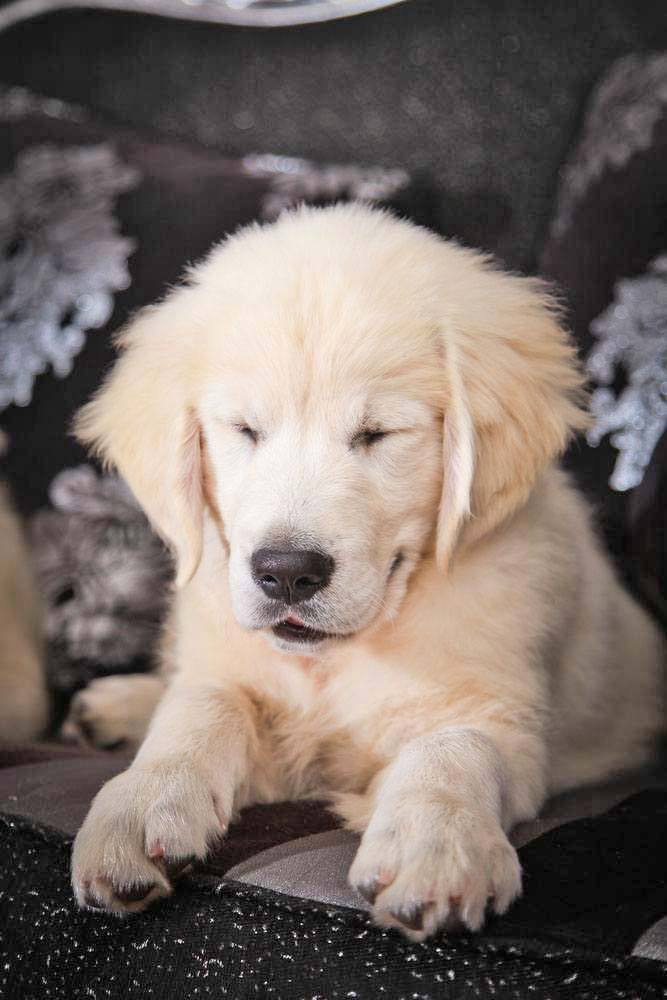 Golden Retriever puppy snoozing