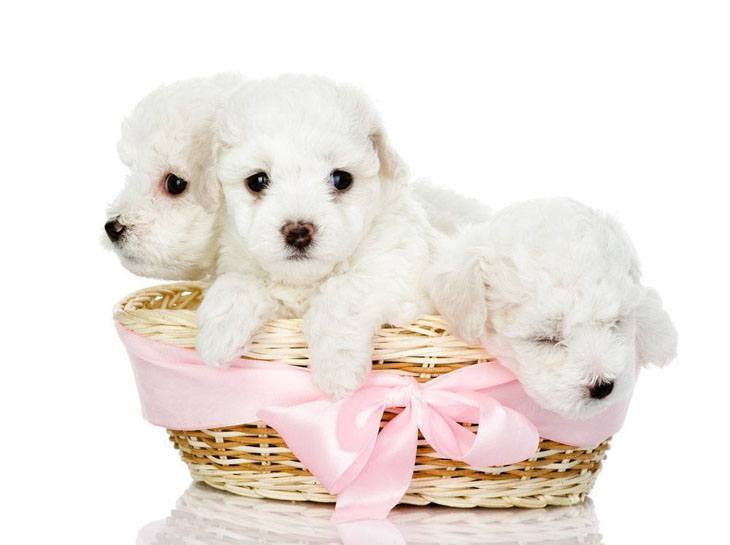 Maltese puppies by the basketfull