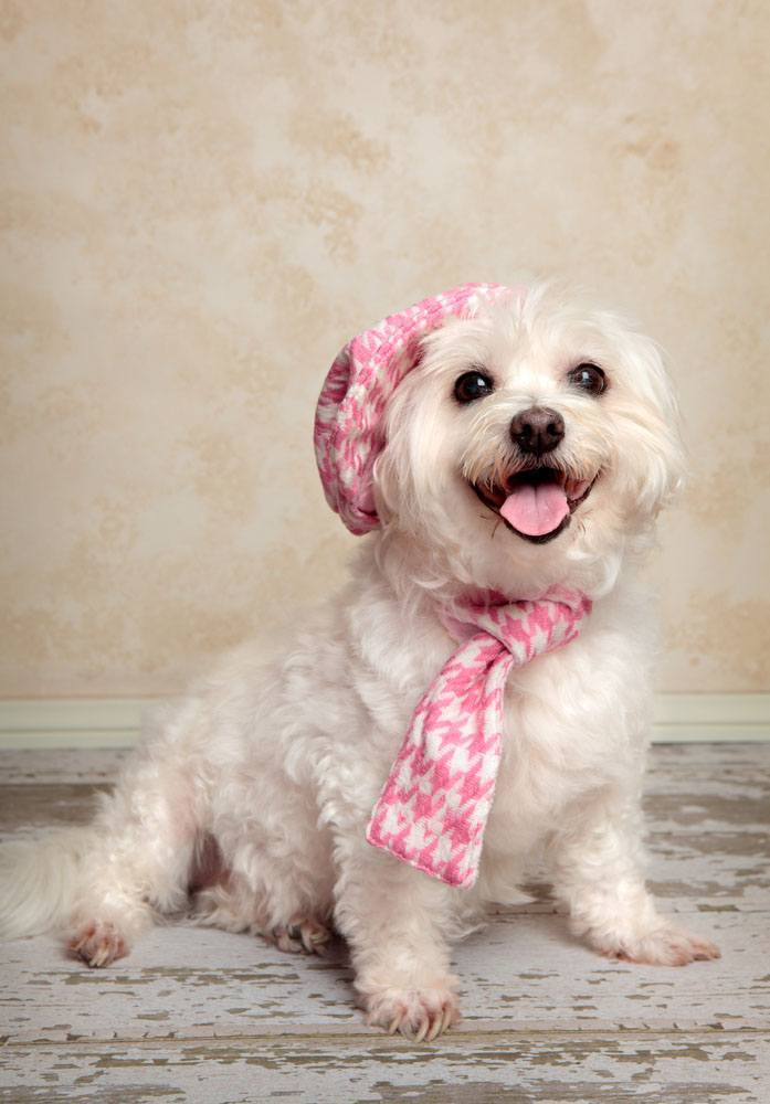 Dapper Maltese ready to step out on the town