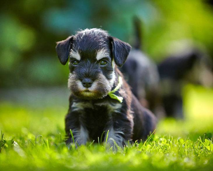 Cute Schnauzer puppy ready to romp