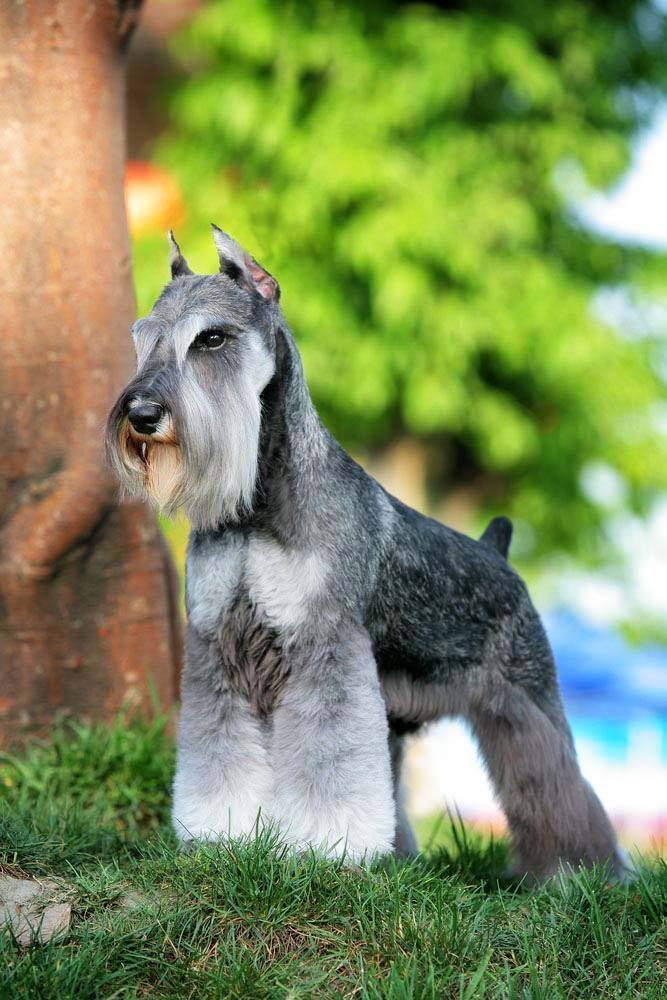 Beautiful Miniature Schnauzer