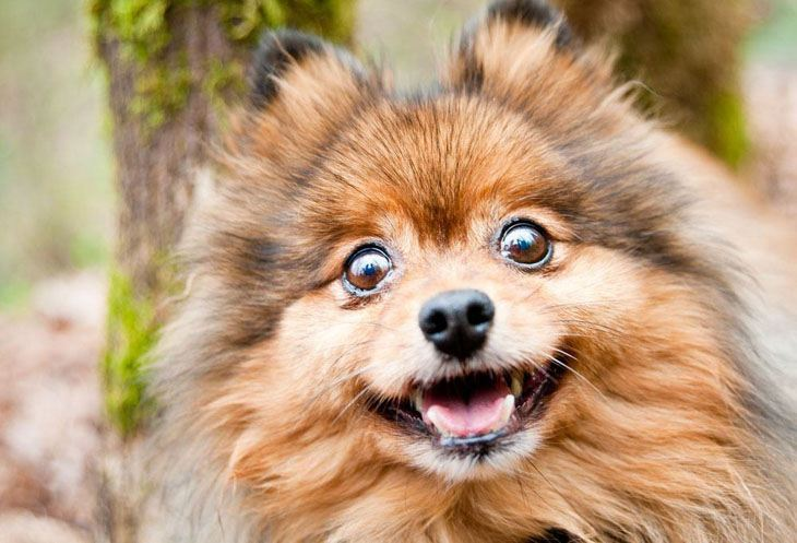 Pomeranian waiting patiently for a cute dog name