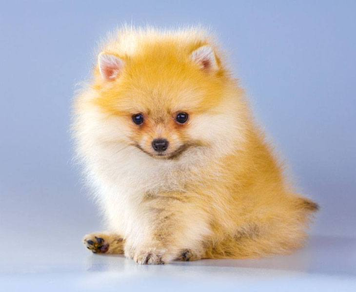 Pomeranian puppy watching you