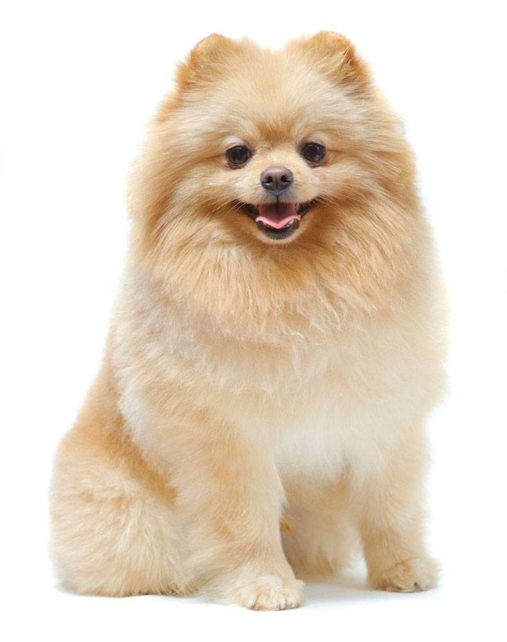 Proud Pomeranian strikes a pose