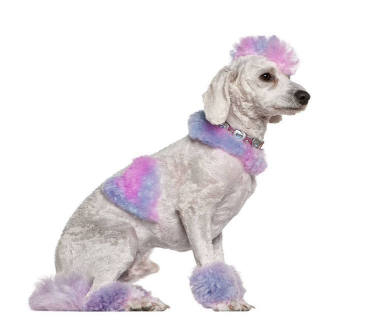 Colorful Poodle
