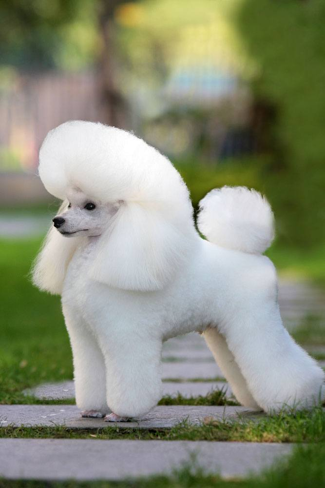 Beautiful white Poodle