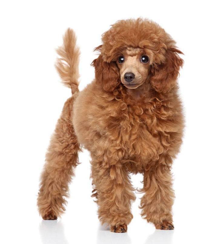 Beautiful Standard Poodle