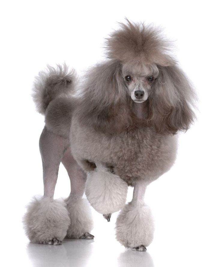 Poodle modeling it's new haircut