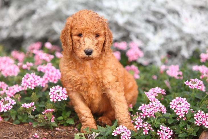 Poodle enjoying the flowers