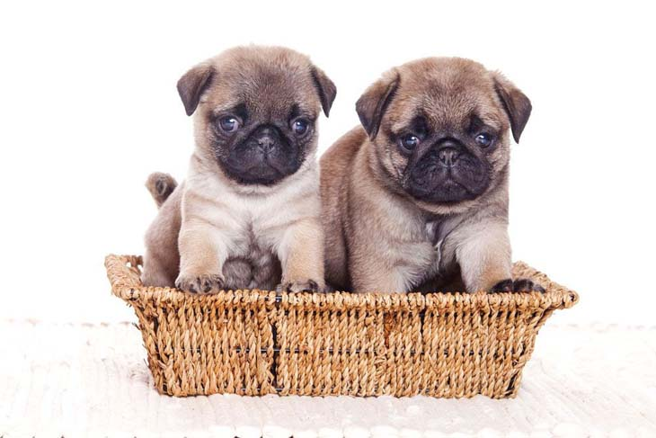 Pug brother and sister ready to eat
