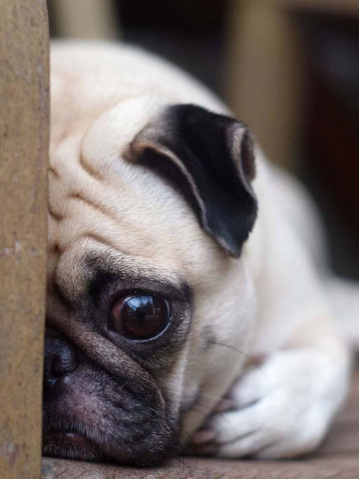 This Pug is so shy
