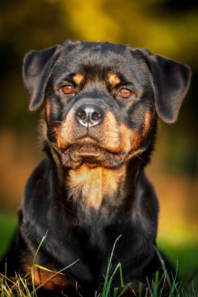 Rottweiler on alert