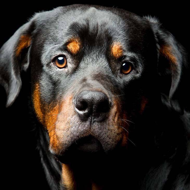 Beautiful Rottweiler staring at you