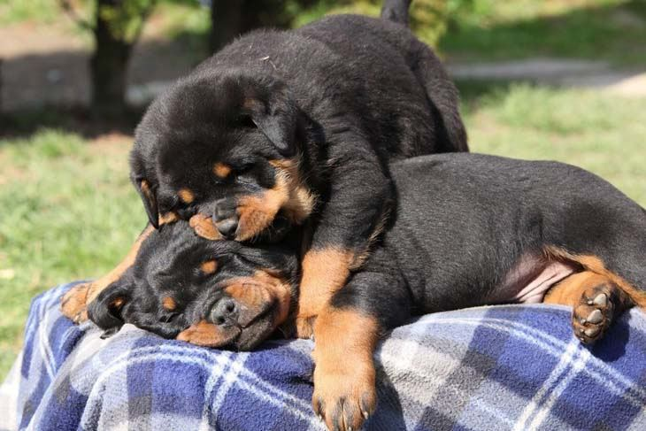 Rottweiler puppies wrestling