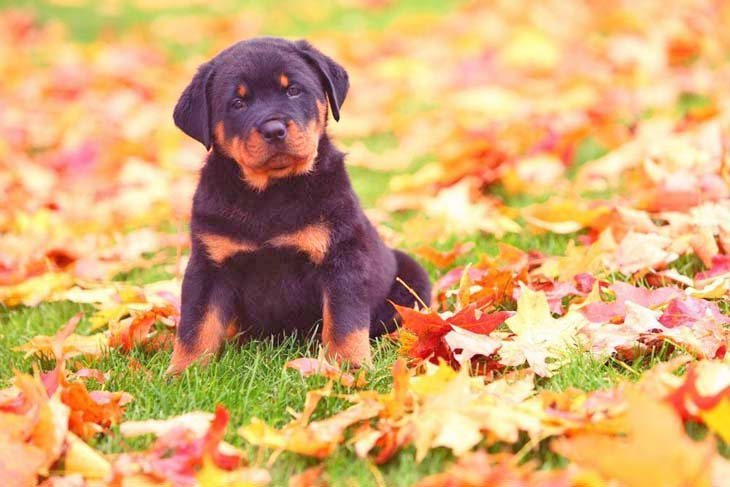 Rottweiler puppy loving fall time