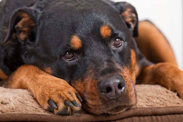 Beautiful Rottweiler resting