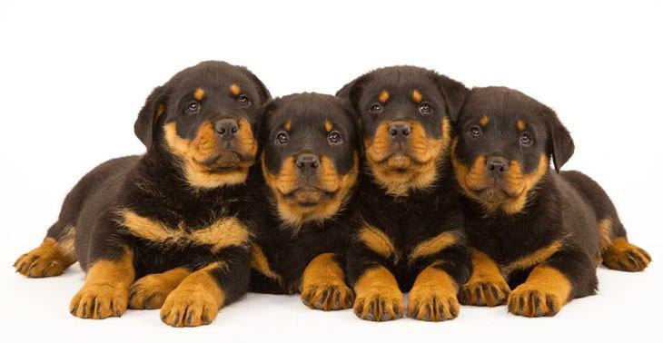 Rottweiler puppies ready to play