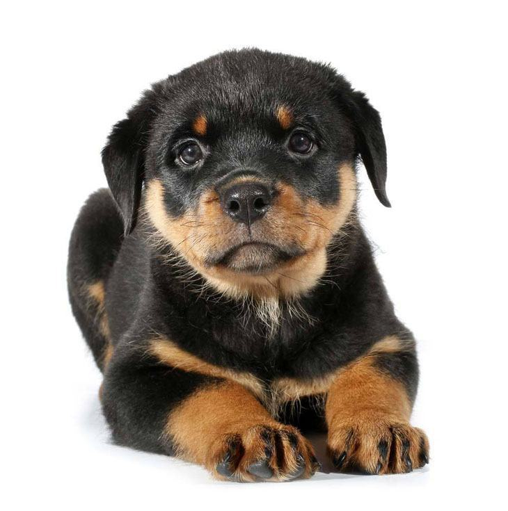 Rottweiler puppy ready for action