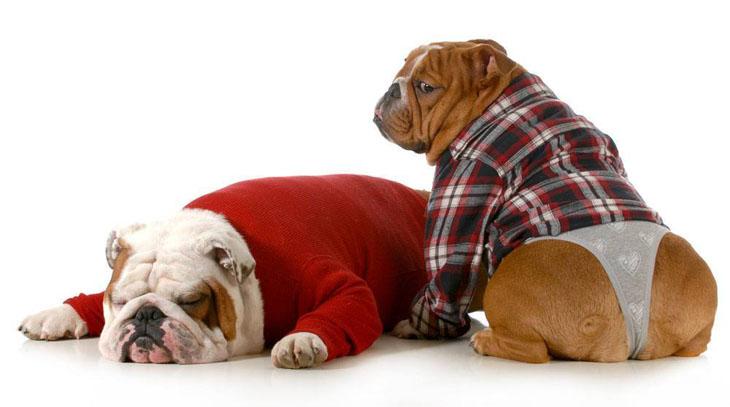 Bulldog with no shame