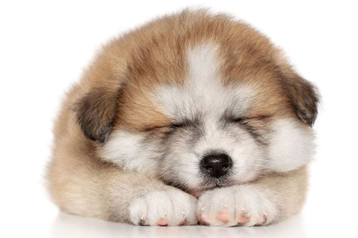Cute puppy naptime