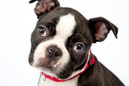 Boston Terrier wants a little attention