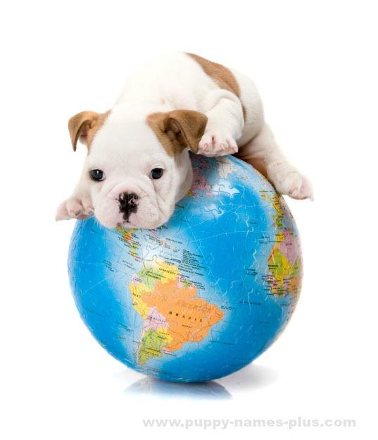 This Bulldog puppy is a world traveler