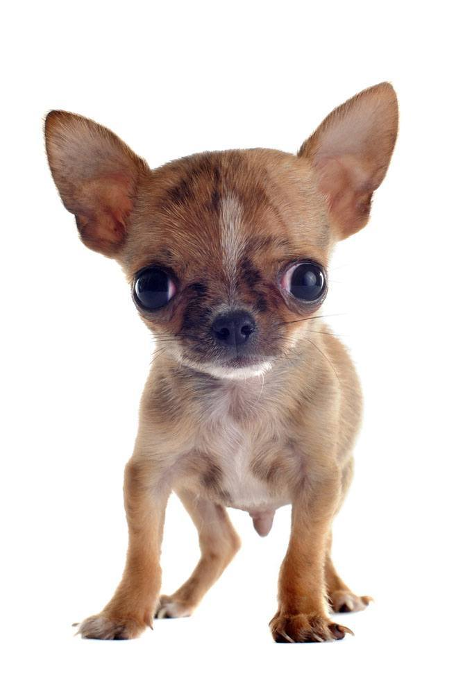 Brown Applehead Chihuahua